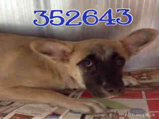 SHEPHERD Female  Young  Puppy #A352643#  - click here to view larger pic