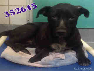 Mix-Bred LABRADOR RETRIEVER Male  Adult  Dog #A352645#  - click here to view larger pic