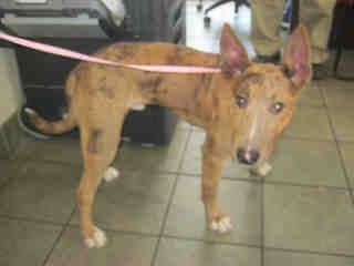 Mix-Bred BULL TERRIER Male  Adult  Dog #A352649#  - click here to view larger pic