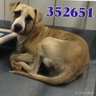 AMERICAN STAFFORDSHIRE TERRIER Female  Young  Puppy #A352651#  - click here to view larger pic