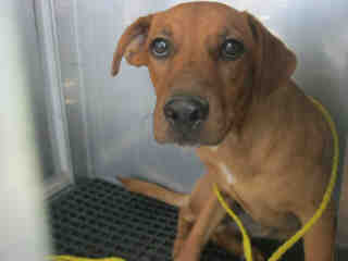 Mix-Bred SHEPHERD Male  Young  Puppy #A352659#  - click here to view larger pic