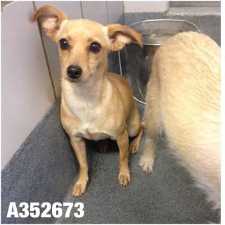 CHIHUAHUA - SMOOTH COATED Female  Adult  Dog #A352673#  - click here to view larger pic