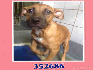 Mix-Bred BOXER Female  Young  Puppy #A352686#  - click here to view larger pic