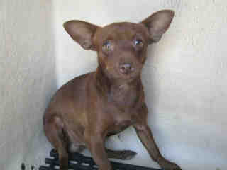 CHIHUAHUA - SMOOTH COATED Male  Young  Puppy #A352688#  - click here to view larger pic