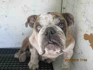 <u> Mix-Bred BULLDOG Female  Adult  Dog  (Secondary Breed: BLEND)</u>