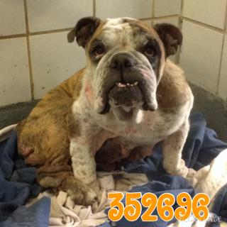 Mix-Bred BULLDOG Female  Adult  Dog #A352696#  - click here to view larger pic