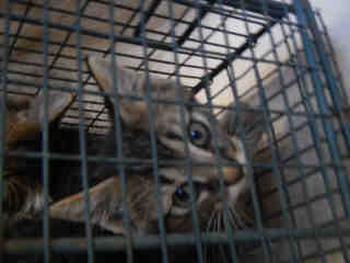 Mix-Bred DOMESTIC SHORTHAIR Male  Young  Kitten #A352701#  - click here to view larger pic