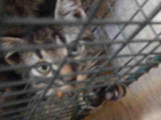 Mix-Bred DOMESTIC SHORTHAIR Female  Young  Kitten #A352703#  - click here to view larger pic