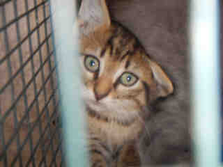 Mix-Bred DOMESTIC SHORTHAIR Female  Young  Kitten #A352706#  - click here to view larger pic