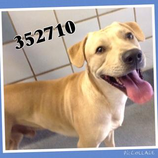 Mix-Bred LABRADOR RETRIEVER Male  Adult  Dog #A352710#  - click here to view larger pic
