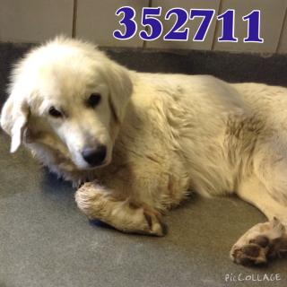 <u> Mix-Bred GREAT PYRENEES Female  Adult  Dog  (Secondary Breed: BLEND)</u>
