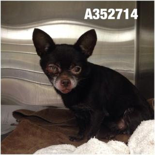 CHIHUAHUA - SMOOTH COATED Female  Adult  Dog #A352714#  - click here to view larger pic