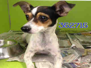 Mix-Bred CHIHUAHUA - SMOOTH COATED Female  Young  Puppy #A352715#  - click here to view larger pic