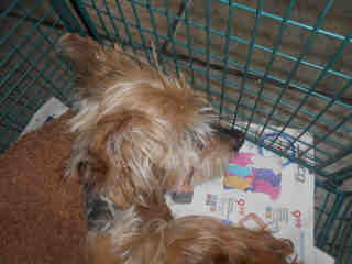 Mix-Bred YORKSHIRE TERRIER Male  Older  Dog #A352718#  - click here to view larger pic