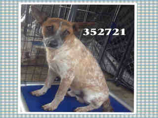 Mix-Bred AUSTRALIAN CATTLE DOG Male  Young  Puppy #A352721#  - click here to view larger pic