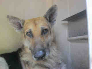 GERMAN SHEPHERD DOG Male  Older  Dog #A352722#  - click here to view larger pic