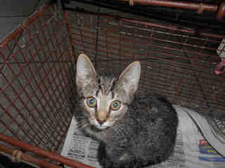 Mix-Bred DOMESTIC SHORTHAIR Male  Young  Kitten #A352728#  - click here to view larger pic