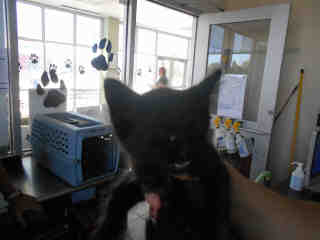 Mix-Bred DOMESTIC SHORTHAIR Female  Young  Kitten #A352732#  - click here to view larger pic