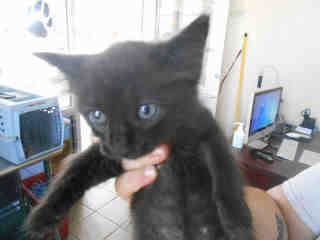 Mix-Bred DOMESTIC SHORTHAIR Male  Young  Kitten #A352733#  - click here to view larger pic
