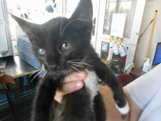 Mix-Bred DOMESTIC SHORTHAIR Female  Young  Kitten #A352734#  - click here to view larger pic