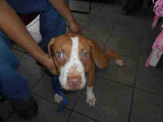 AMERICAN STAFFORDSHIRE TERRIER Female  Adult  Dog #A352737#  - click here to view larger pic