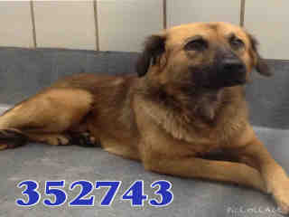 Mix-Bred GERMAN SHEPHERD DOG Male  Young  Puppy #A352743#  - click here to view larger pic