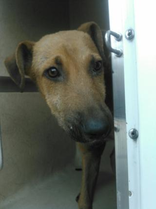 SHEPHERD Male  Young  Puppy #A352748#  - click here to view larger pic