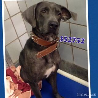 WEIMARANER Male  Adult  Dog #A352752#  - click here to view larger pic