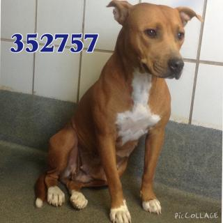 AMERICAN STAFFORDSHIRE TERRIER Female  Adult  Dog #A352757#  - click here to view larger pic