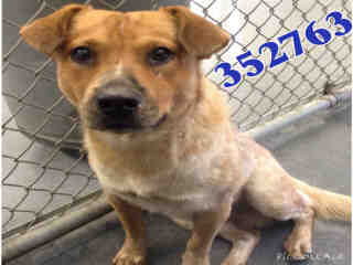 AUSTRALIAN CATTLE DOG Male  Adult  Dog #A352763#  - click here to view larger pic