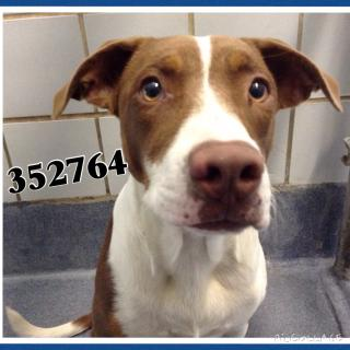 SHEPHERD Female  Adult  Dog #A352764#  - click here to view larger pic