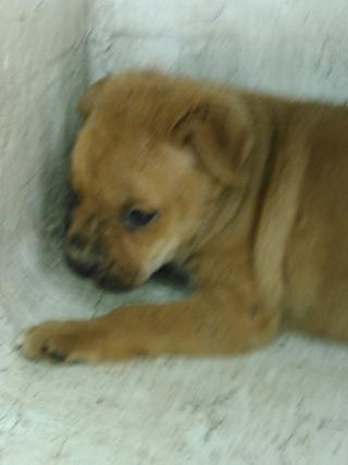Mix-Bred CHOW CHOW Male  Young  Puppy #A352770#  - click here to view larger pic