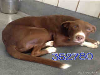 Mix-Bred LABRADOR RETRIEVER Male  Adult  Dog #A352780#  - click here to view larger pic