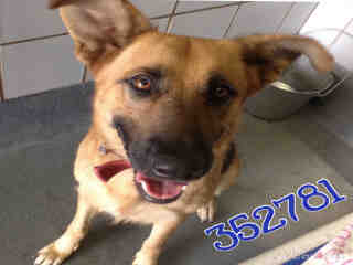 GERMAN SHEPHERD DOG Female  Adult  Dog #A352781#  - click here to view larger pic