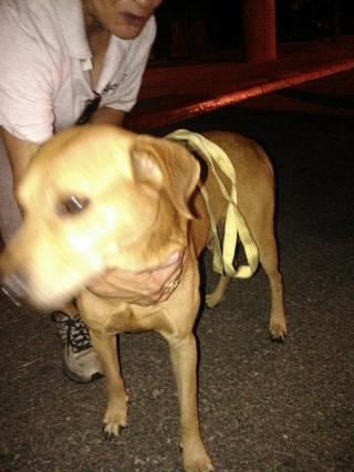 LABRADOR RETRIEVER Male  Adult  Dog #A352782#  - click here to view larger pic