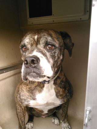 AMERICAN BULLDOG Male  Adult  Dog #A352794#  - click here to view larger pic