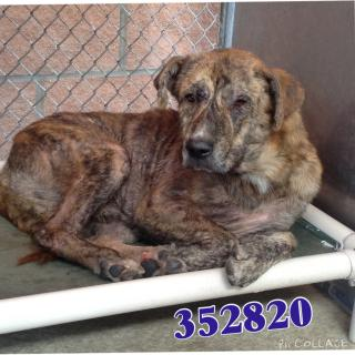 Mix-Bred CATAHOULA LEOPARD HOUND Male  Adult  Dog #A352820#  - click here to view larger pic
