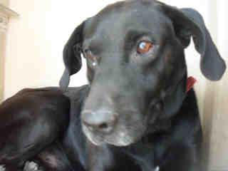 LABRADOR RETRIEVER Male  Adult  Dog #A352829#  - click here to view larger pic