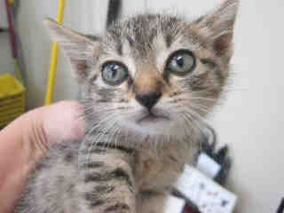 Mix-Bred DOMESTIC SHORTHAIR Female  Young  Kitten #A352831#  - click here to view larger pic