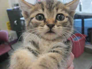 Mix-Bred DOMESTIC SHORTHAIR Female  Young  Kitten #A352832#  - click here to view larger pic