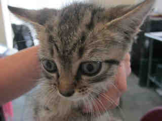 Mix-Bred DOMESTIC SHORTHAIR Male  Young  Kitten #A352833#  - click here to view larger pic