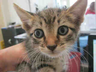 Mix-Bred DOMESTIC SHORTHAIR Male  Young  Kitten #A352834#  - click here to view larger pic