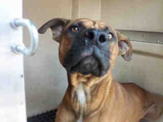 Mix-Bred BOXER Male  Adult  Dog #A352838#  - click here to view larger pic