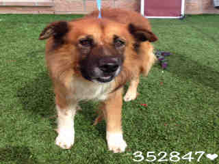 Mix-Bred CHOW CHOW Male  Adult  Dog #A352847#  - click here to view larger pic