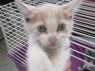 Mix-Bred DOMESTIC SHORTHAIR Male  Young  Kitten #A352849#  - click here to view larger pic