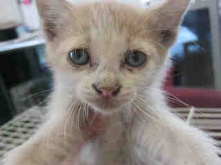 Mix-Bred DOMESTIC SHORTHAIR Male  Young  Kitten #A352850#  - click here to view larger pic