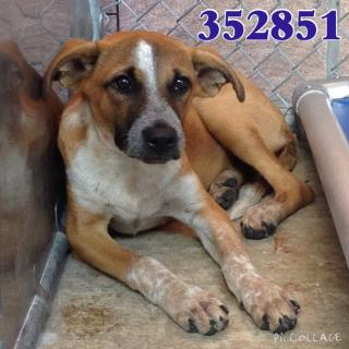 Mix-Bred SHEPHERD Female  Young  Puppy #A352851#  - click here to view larger pic
