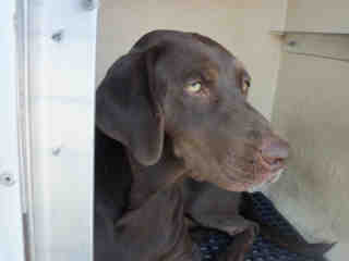 LABRADOR RETRIEVER Female  Adult  Dog #A352853#  - click here to view larger pic