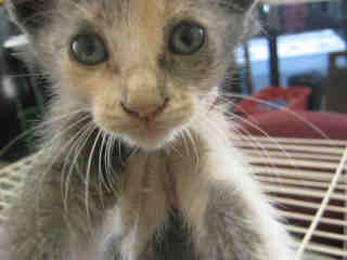 Mix-Bred DOMESTIC SHORTHAIR Female  Young  Kitten #A352855#  - click here to view larger pic