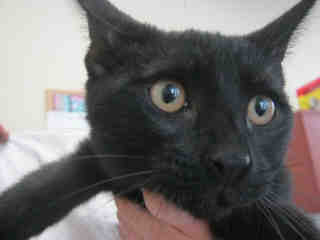 Mix-Bred DOMESTIC SHORTHAIR Male  Young  Kitten #A352857#  - click here to view larger pic